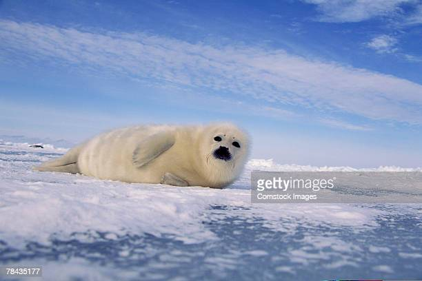 Harp seal , Canada