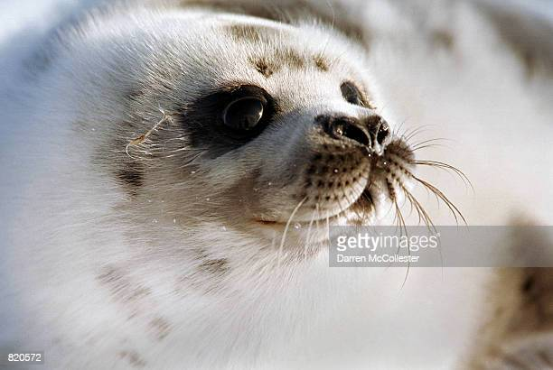 A harp seal in the 'ragged jacket' stage lays on an ice floe March 26 2001 in the Gulf of St Lawrence in Canada Canada's seal hunt is the largest...