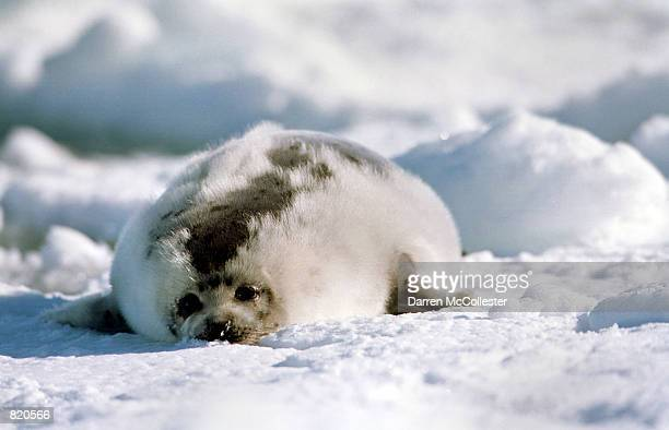 A harp seal in the 'ragged jacket' stage lays on an ice floe March 29 2001 in the Gulf of St Lawrence in Canada Canada's seal hunt is the largest...
