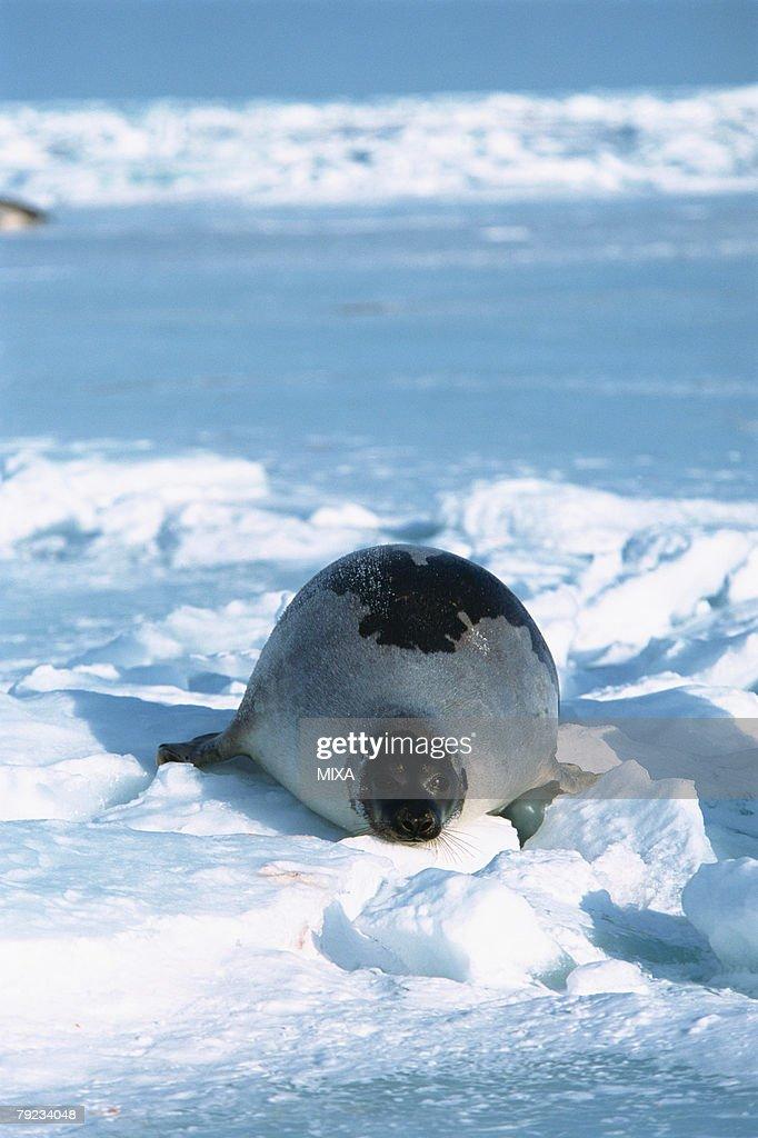 Harp seal lying on ice : Stock Photo