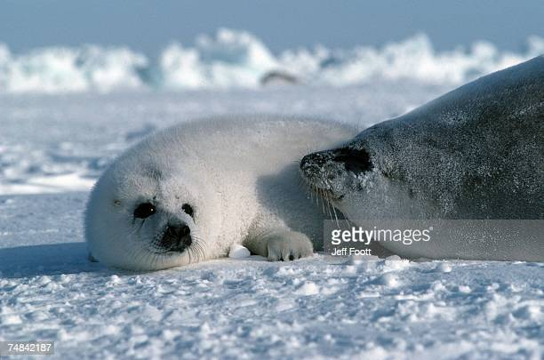 Harp seal mother and pup. Phoca groenlandica. Gulf of St. Lawrence, Canada.