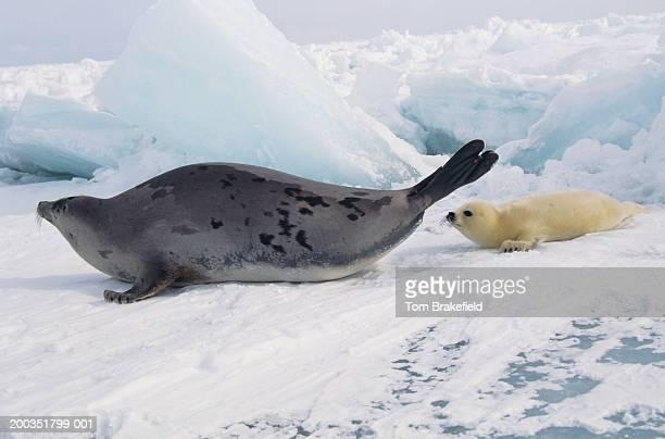 Harp seal (Phoca groenlandica) mother with whitecoat, Canada