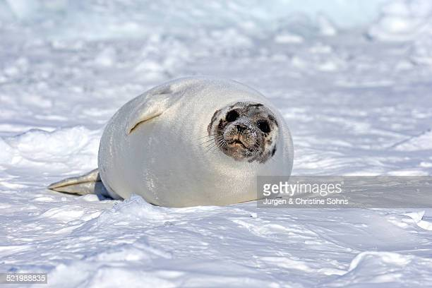 Harp Seal or Saddleback Seal -Pagophilus groenlandicus, Phoca groenlandica-, adult female on pack ice, Magdalen Islands, Gulf of Saint Lawrence, Quebec, Canada