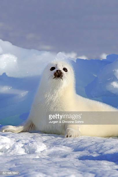Harp Seal or Saddleback Seal -Pagophilus groenlandicus, Phoca groenlandica-, pup on pack ice, Magdalen Islands, Gulf of Saint Lawrence, Quebec, Canada