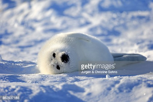 Harp Seal or Saddleback Seal -Pagophilus groenlandicus, Phoca groenlandica- pup on pack ice, Magdalen Islands, Gulf of Saint Lawrence, Quebec, Canada