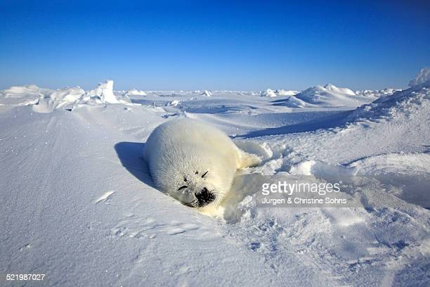 Harp seal -Pagophilus groenlandicus- pup sleeping on ice, Magdalen Islands, Gulf of St. Lawrence, Quebec Province, Canada