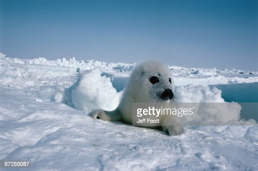 Harp seal pup lays in snow. Phoca groenlandica. Gulf of St. Lawrence, Canada.