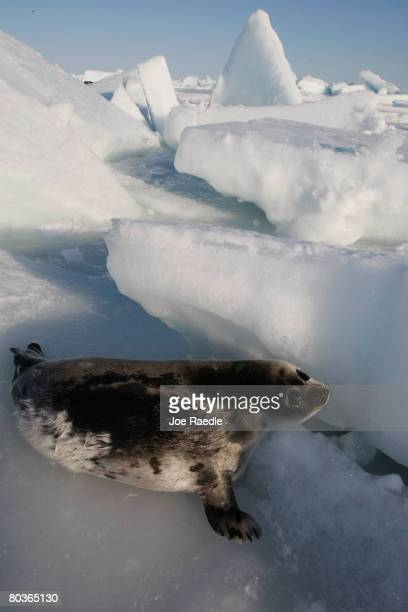 A harp seal pup lies on an ice floe in the Gulf of Saint Lawrence March 24 2008 in Charlottetown Canada Canada's seal hunt is expected to start later...