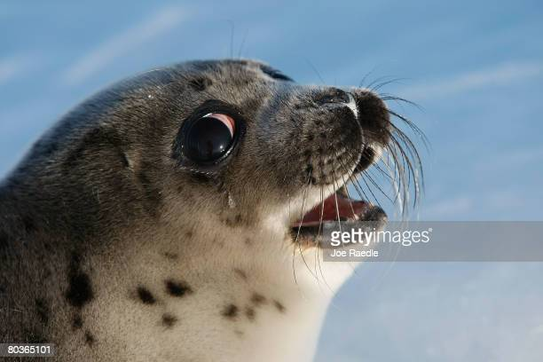 A harp seal pup lies on an ice floe March 24 2008 in the Gulf of Saint Lawrence in Canada Canada's seal hunt is expected to start later this week and...