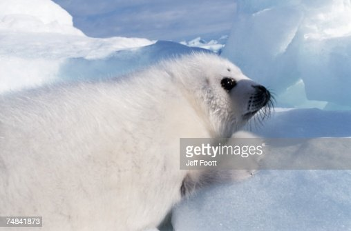 Harp seal pup. St Lawrence Gulf, Canada