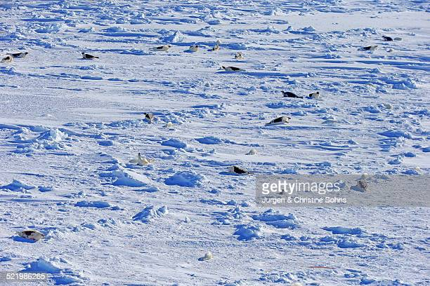Harp Seals or Saddleback Seals -Pagophilus groenlandicus, Phoca groenlandica-, seal colony on pack ice, aerial view, Magdalen Islands, Gulf of Saint Lawrence, Quebec, Canada