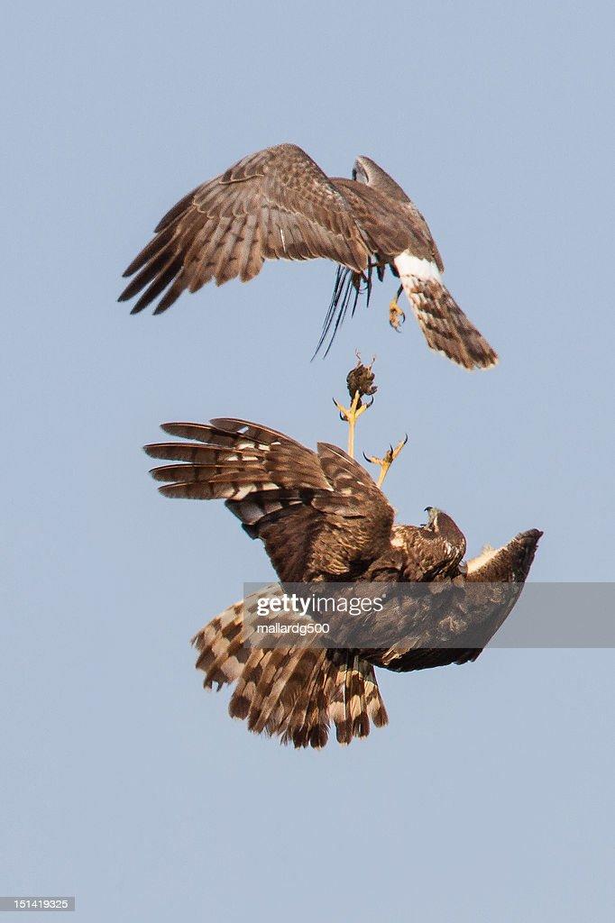 Harrier food exchange : Stock Photo
