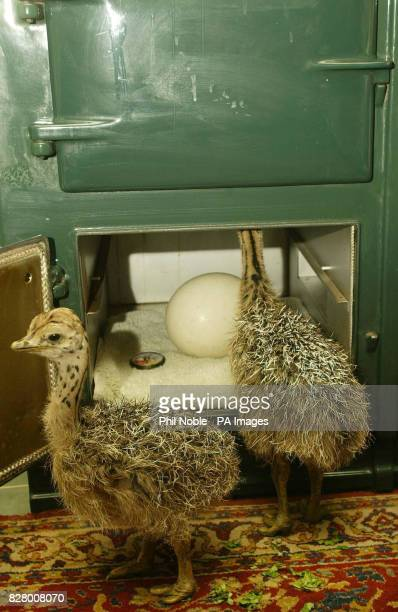 Harry and Houdini the baby Ostriches rescued by keepers after their nest had been abandoned by their mother after flooding at Knowsley Safari Park...