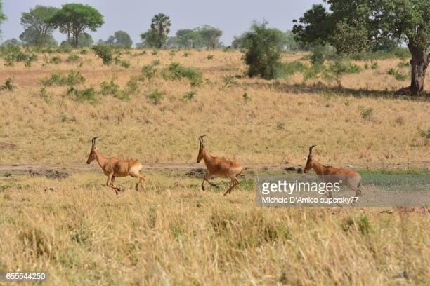 Hartebeest antelopes running in the savannah.