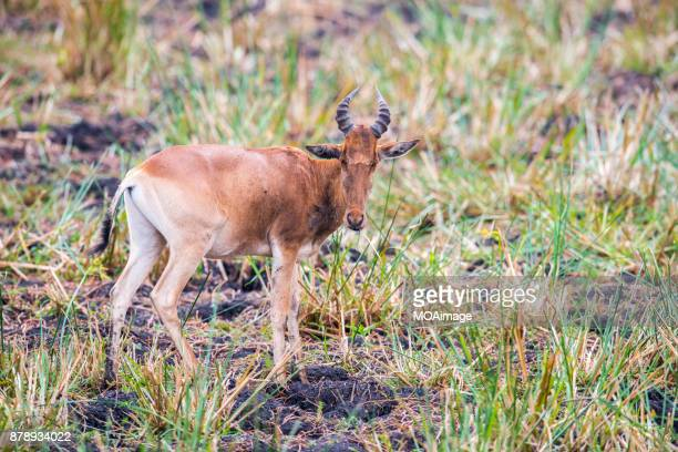A hartebeest in savanna