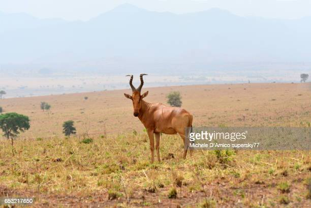 Hartebeest in the dry savannah