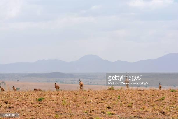 Hartebeests running in the savannah