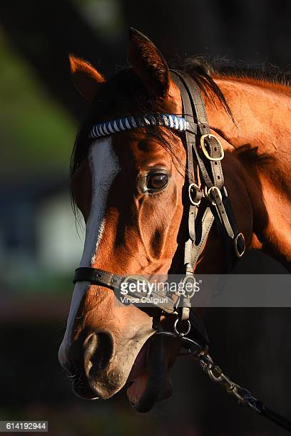 Hartnell from the Godolphin stable after a trackwork session at Moonee Valley Racecourse on October 13 2016 in Melbourne Australia