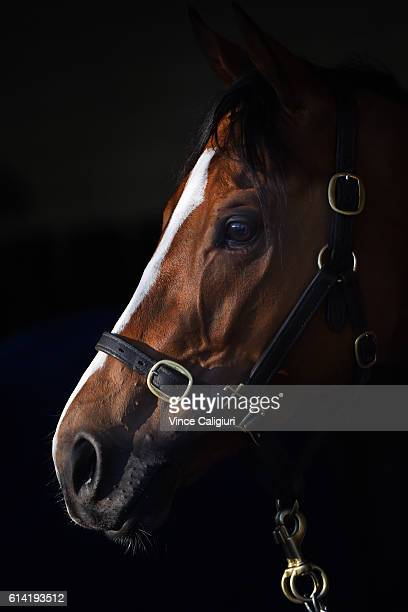 Hartnell from the Godolphin stable resting in his stable after a trackwork session at Moonee Valley Racecourse on October 13 2016 in Melbourne...