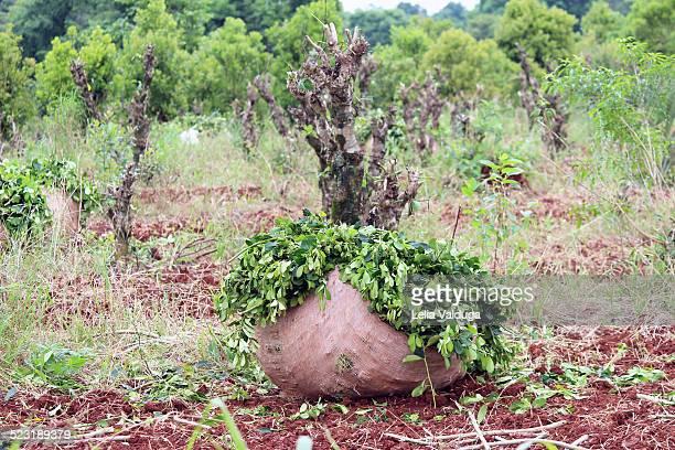 Harvest bushel of leaves of yerba mate