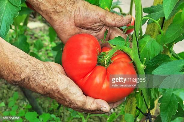 Harvest Hands Big Tomato