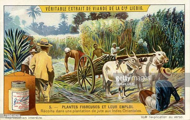 Harvest in a jute plantation in East Indies From Liebig series Plantes Fibreuses et leur emploi 1910 No 5