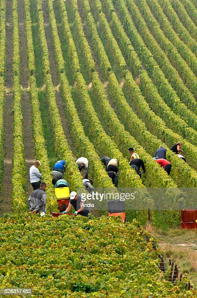 Harvest in the historic province of Champagne Marne department in the surroundings of Reims Grape harvest for the production of champagne speciality...