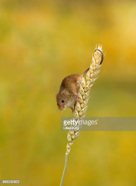 Harvest Mice Playing