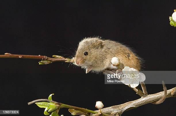 Harvest mouse (Micromys minutus) adult on blackthorn, Norfolk, UK