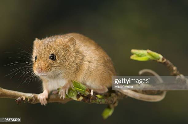 Harvest mouse (Micromys minutus) adult on willow, Norfolk, UK