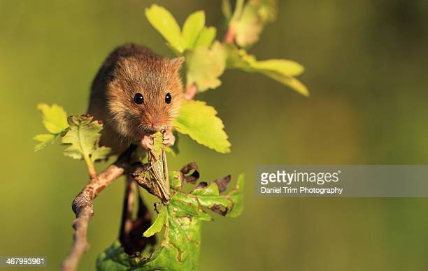 Harvest Mouse Eating a Grasshopper