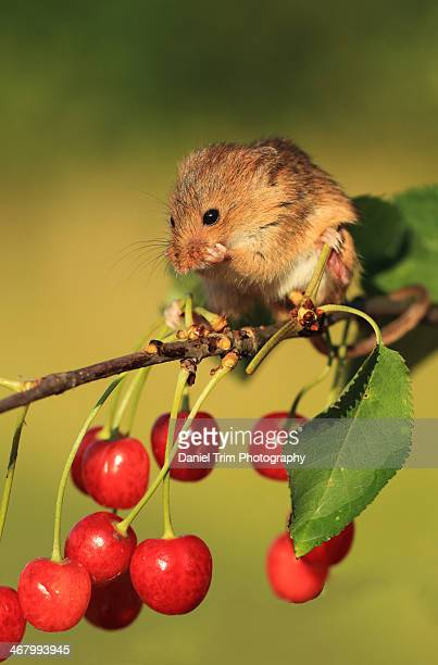 Harvest Mouse in a Cheery Tree