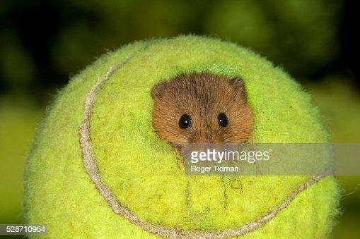 Harvest mouse in nest inside tennis ball