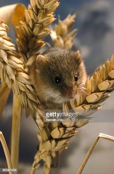 harvest mouse micromys minutus essex