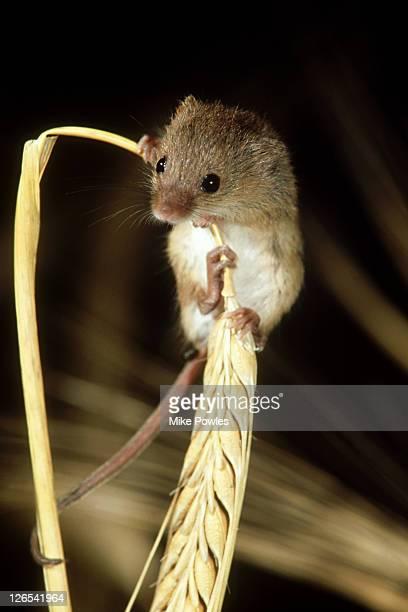 harvest mouse micromys minutus on barley norfolk, uk