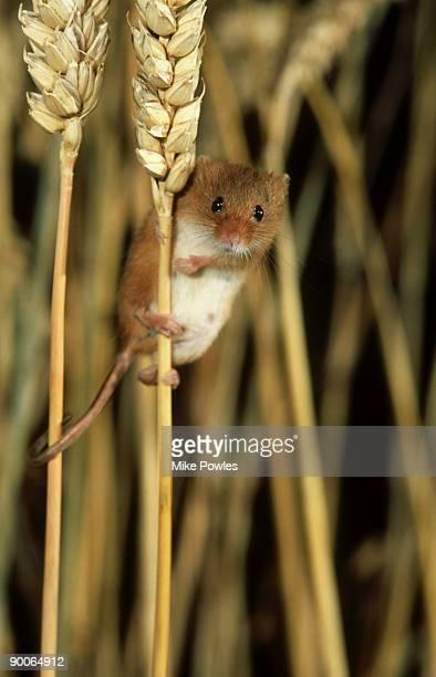 harvest mouse: micromys minutus  on cereal stalks  norfolk