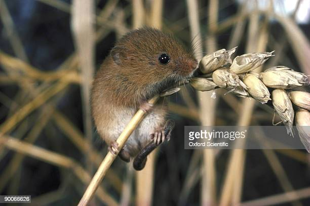 harvest mouse micromys minutus on ear of corn