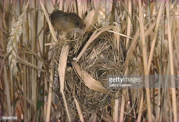 harvest mouse micromys minutus on nest