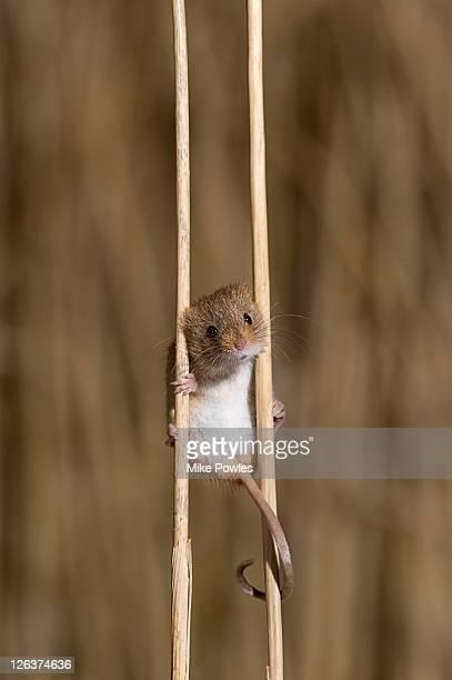 Harvest Mouse, Micromys minutus, on wheat stalks, Norfolk UK