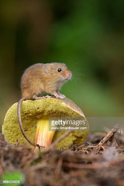 Harvest mouse on a mushroom