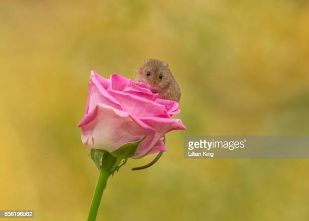 Harvest Mouse on a pink Rose