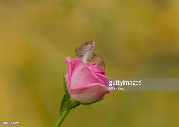 Harvest Mouse on a pink Rose