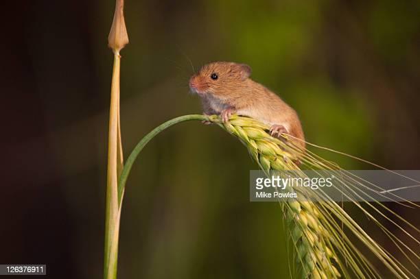 Harvest Mouse (Micromys minutus) on barley Norfolk, United Kingdom
