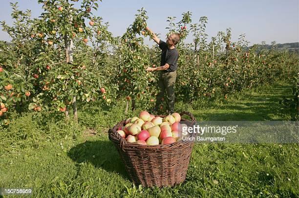 Harvest of apples