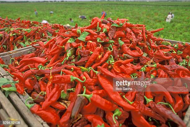 Harvest of Red Chili Peppers