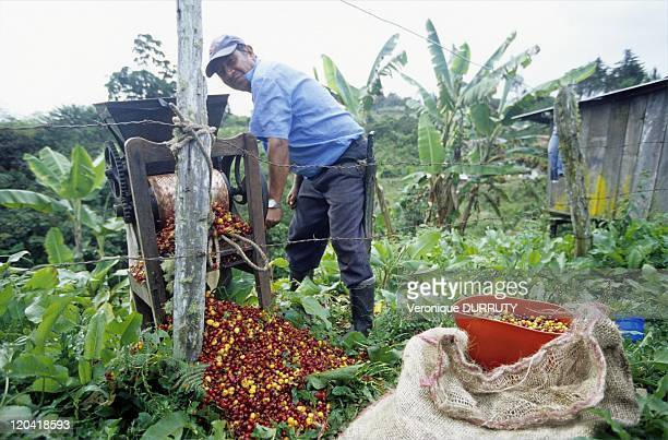 Harvest of the Coffee Beans Huila Colombia Colombian Coffee Beans are grown at high altitudes and tended with painstaking care in the shade of banana...