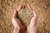 Close up of cupped farmer's hands full of grain