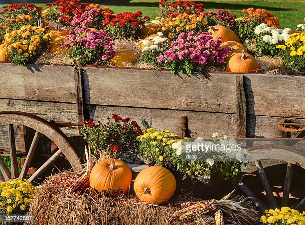 harvest pumpkins, chrysanthemums and antique farm wagon