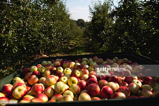 Harvested apples sit in a collection crate during the summer harvest at the Sady Trzebnica z oo apple farm in Trzebnica Poland on Monday Aug 25 2014...
