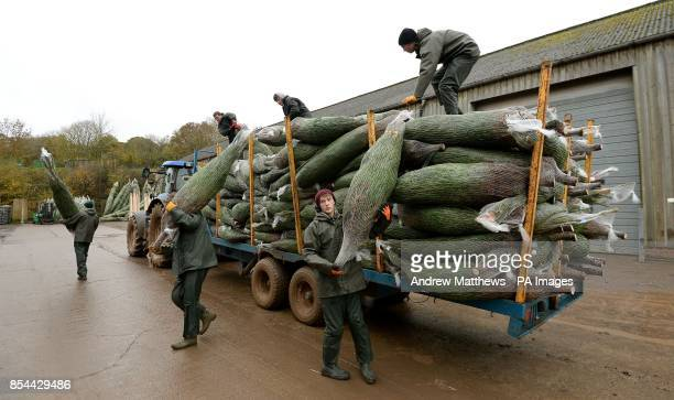 Harvested Christmas trees are unloaded form a trailer ready to be sorted into sizes at Manor Farm in Woodmancott Hampshire